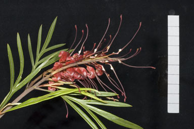 APII jpeg image of Grevillea 'Fire Sprite'  © contact APII