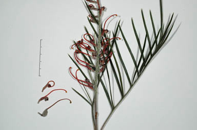 APII jpeg image of Grevillea 'Blood Orange'  © contact APII