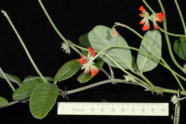 APII jpeg image of Kennedia 'KencoralGL'  © contact APII
