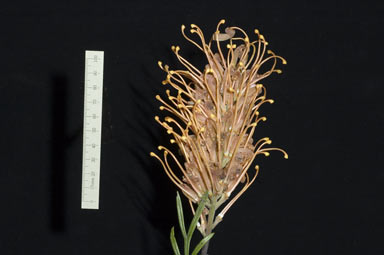 APII jpeg image of Grevillea 'Honey Barbara'  © contact APII