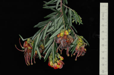 APII jpeg image of Grevillea 'Charlie's Angel'  © contact APII