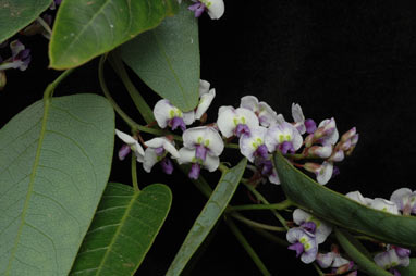 APII jpeg image of Hardenbergia 'Mystic Marvel'  © contact APII