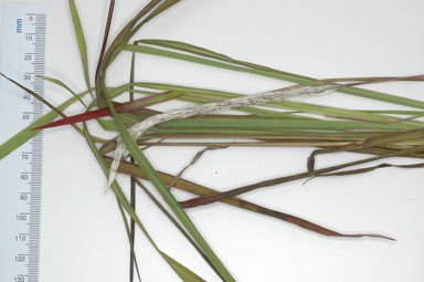 APII jpeg image of Imperata cylindrica  © contact APII