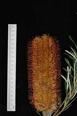 APII jpeg image of Banksia spinulosa 'Honey Pots'  © contact APII