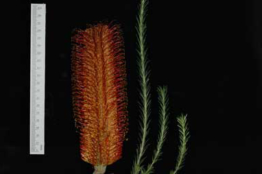 APII jpeg image of Banksia ericifolia 'Red Rover'  © contact APII