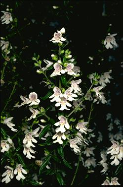 APII jpeg image of Prostanthera phylicifolia  © contact APII