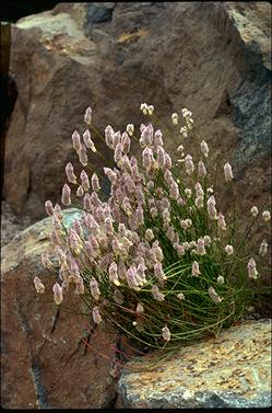 APII jpeg image of Ptilotus drummondii var. drummondii  © contact APII