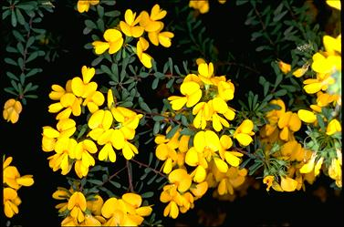 APII jpeg image of Pultenaea altissima  © contact APII