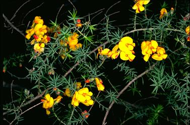 APII jpeg image of Pultenaea juniperina  © contact APII