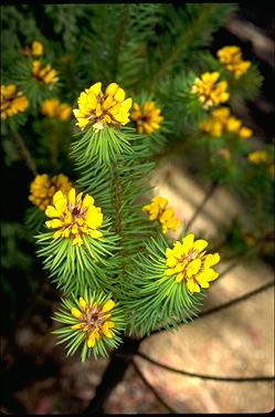 APII jpeg image of Pultenaea stipularis  © contact APII