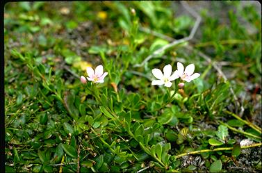 APII jpeg image of Samolus repens  © contact APII
