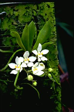 APII jpeg image of Sarcochilus falcatus  © contact APII