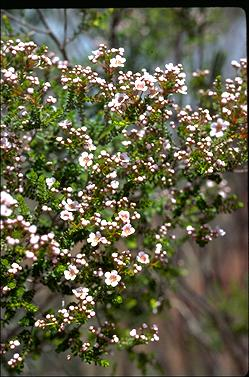 APII jpeg image of Scholtzia capitata  © contact APII