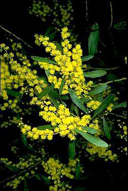 APII jpeg image of Acacia amoena  © contact APII