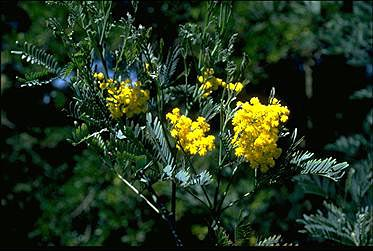 APII jpeg image of Acacia blayana  © contact APII