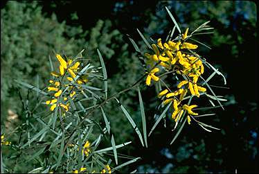 APII jpeg image of Acacia caroleae  © contact APII