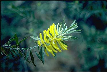 APII jpeg image of Acacia conspersa  © contact APII