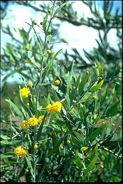 APII jpeg image of Acacia dempsteri  © contact APII