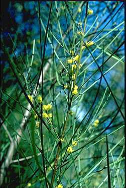 APII jpeg image of Acacia granitica  © contact APII
