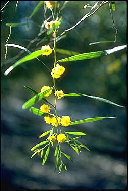 APII jpeg image of Acacia leprosa  © contact APII