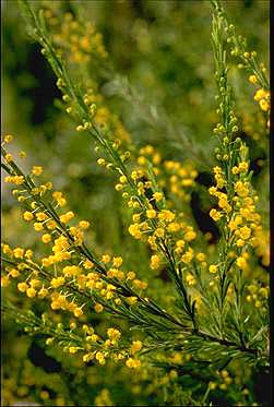 APII jpeg image of Acacia lineata  © contact APII