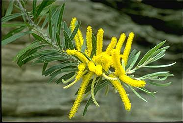 APII jpeg image of Acacia multistipulosa  © contact APII