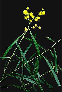 APII jpeg image of Acacia neriifolia  © contact APII