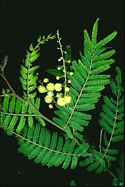 APII jpeg image of Acacia oshanesii  © contact APII
