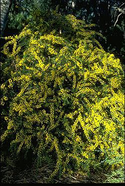 APII jpeg image of Acacia paradoxa  © contact APII