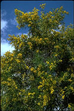 APII jpeg image of Acacia saligna  © contact APII