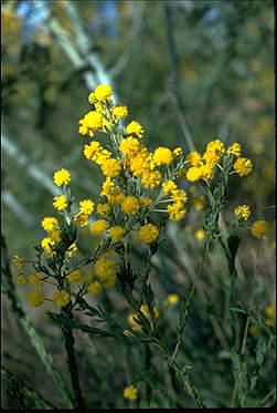 APII jpeg image of Acacia mariae  © contact APII