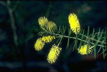 APII jpeg image of Acacia verticillata  © contact APII