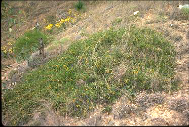 APII jpeg image of Acacia whitei  © contact APII
