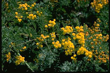 APII jpeg image of Acacia chinchillensis  © contact APII