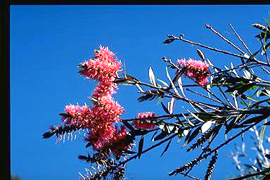 APII jpeg image of Callistemon formosus  © contact APII