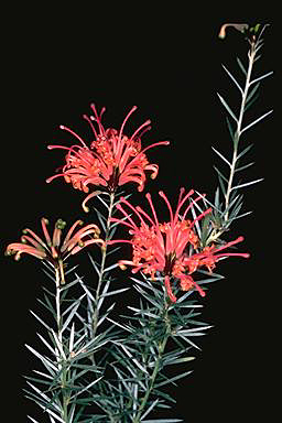 APII jpeg image of Grevillea kennedyana  © contact APII