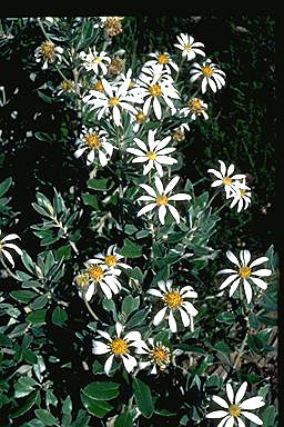 APII jpeg image of Olearia pannosa  © contact APII
