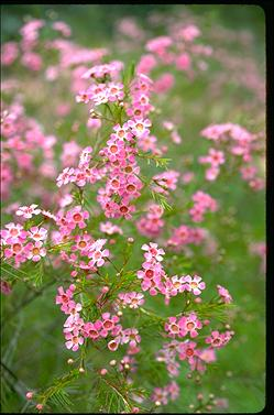 APII jpeg image of Chamelaucium uncinatum  © contact APII