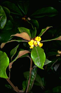 APII jpeg image of Pittosporum revolutum  © contact APII