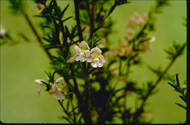 APII jpeg image of Prostanthera behriana  © contact APII
