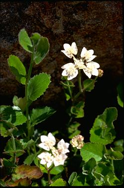 APII jpeg image of Xanthosia rotundifolia var. rotundifolia  © contact APII