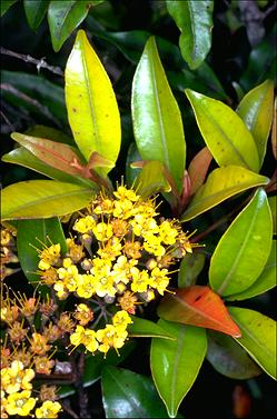 APII jpeg image of Thaleropia queenslandica  © contact APII