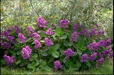 APII jpeg image of Tibouchina heteromalla  © contact APII