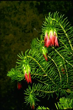 APII jpeg image of Darwinia oxylepis  © contact APII