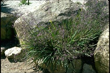 APII jpeg image of Dianella revoluta  © contact APII