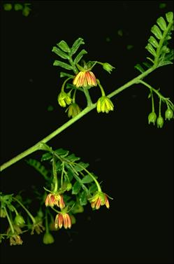 APII jpeg image of Dodonaea multijuga  © contact APII