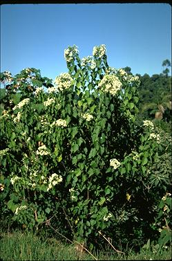 APII jpeg image of Dombeya kirkii  © contact APII