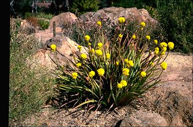 APII jpeg image of Conostylis robusta  © contact APII