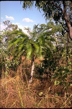 APII jpeg image of Cycas armstrongii  © contact APII
