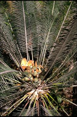 APII jpeg image of Cycas calicola  © contact APII
